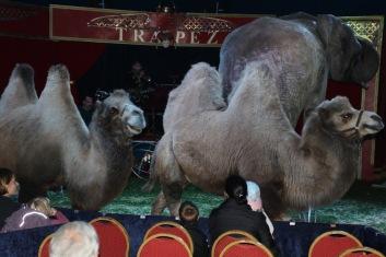Cirkus trapez - kamel